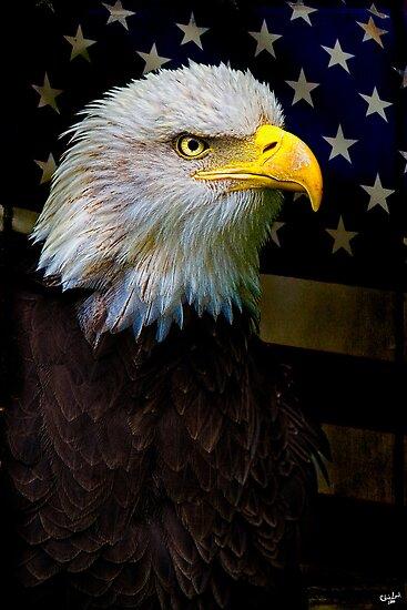 American Bald Eagle, USA by Chris Lord
