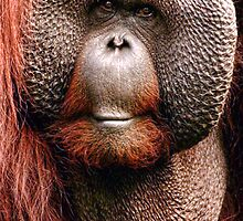 Red Ape by Darren Evans