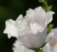 Bellflower White Double Peachleaf  by Mowny