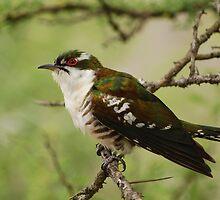 Diderick Cuckoo by Nick Hart