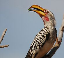Yellow-billed Hornbill by Nick Hart