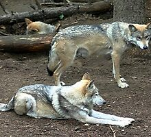 mexican red wolf pair by wolf6249107
