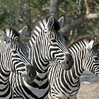 Zebra group up close by jozi1