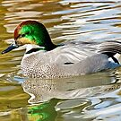 Falcated Duck by Ken Haley