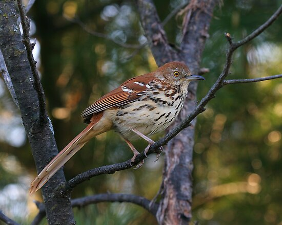 Brown Thrasher by Jim Davis