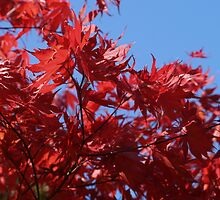 Japanesse Maple Leaves  by Nugrahini Tj.