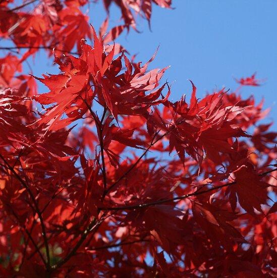Japanesse Maple Leaves  by Nugrahini Tj.