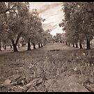 Olive Grove Italy by Rene Hales