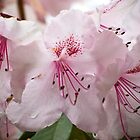 Pink Rhododendrun by Sue Ratcliffe