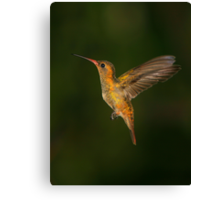 Male Gilded Hummingbird Canvas Print