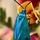 Forester Moth. by trevorb