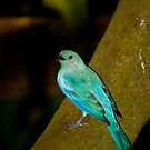 Blue Dacnis by vasu
