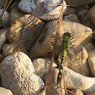 Green Dragonfly by Dan McKenzie