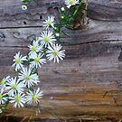 Daisies on a Cedar Log by Dan McKenzie