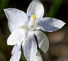 Blue speckled white scented sun orchid. by Cindy McDonald
