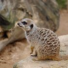 Meerkat by Alastair Faulkner