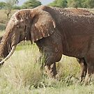 Old Man Elephant, Tarangire National Park, Tanzania (Y) by Adrian Paul