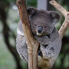 Koala by Alastair Faulkner