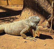 iguana lizard by juliecronin