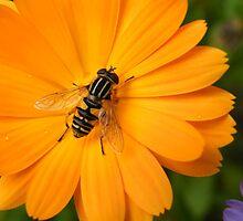 Orange Sunshine by Alison Finch