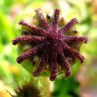 Poppy seed head by David Isaacson