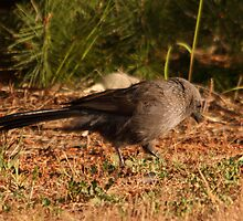 good evening Apostlebird by mosaicavenues