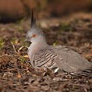 good evening Crested Pigeon by Kerryn Ryan, Mosaic Avenues
