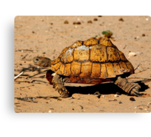 Slow And Steady Wins The Race - Leopard Tortoise Canvas Print