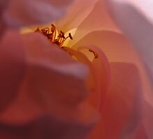 The Lamp Rose by MarianBendeth