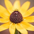 Black Eyed Susan by Erin Johnson