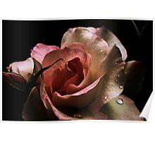 Blushing Rose Poster