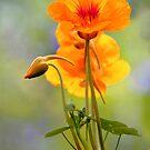 Spring - Nasturtium by picketty