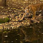 Tiger's reflection by liza1880