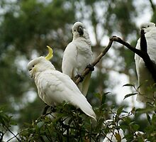 Cockatoos from Sherbrooke Forest, Mt Dandenong, Vic. by Reneefroggy