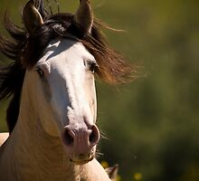 Stallion by Sue Ratcliffe