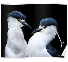 Pair of Black Crowned Night Heron's Poster