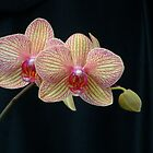 Phal. Baldans Kaleidoscope by David Galson