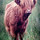 Highland Cow, Scotland. by Aj Finan
