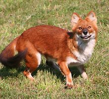Dhole's Eyes by Laurel Talabere