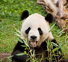Giant Panda by Carol Bock