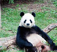 Giant Panda Resting by Carol Bock
