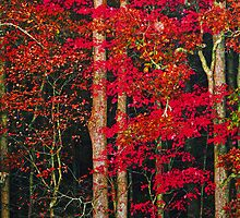 Red Leaves by Terri~Lynn Bealle
