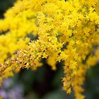 Goldenrod at its finest by Sarah Edmonds