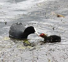 Coot feeding by dilouise