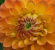 Delightful Dahlia by Monnie Ryan