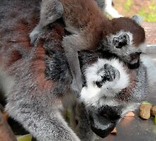 Mother & Baby (Ring-tailed lemurs at Skansen) by homesick