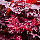 Japanese Maple with fuschia samaras by jeliza