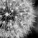 Dandelion Seedhead in black and white by jeliza