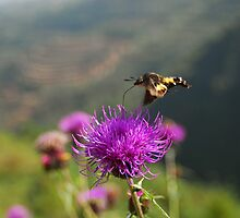 Hummingbird Hawk-moth by davvi