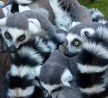 Ring-tailed lemurs at Skansen (the zoo in Stockhom), autumn 2006 by homesick